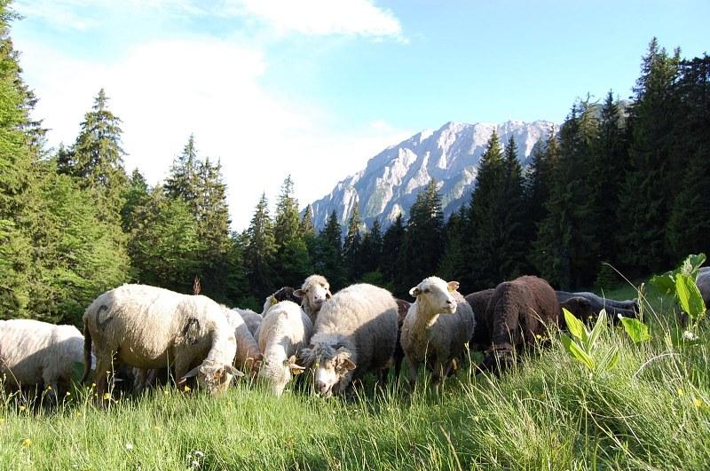 nous des tafioles? Sheep-herd