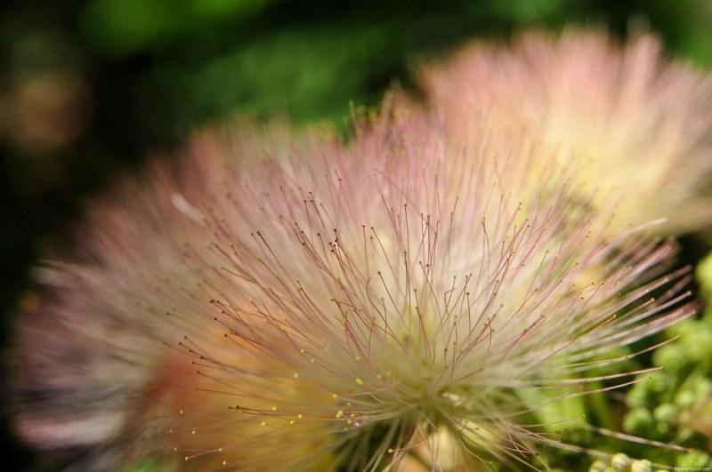 Fleur Blanche Dacacia De Boule Images Gratuit Sur 4 Free Photos