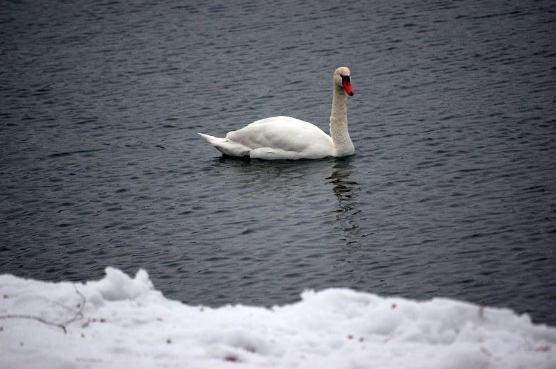 Schwan am kalten See