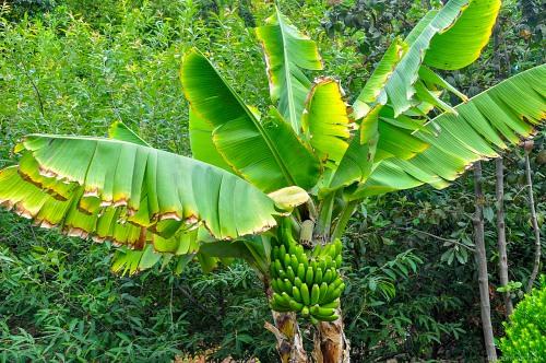 bananenbaum pflanzen bananen pflegen bananen baum. Black Bedroom Furniture Sets. Home Design Ideas