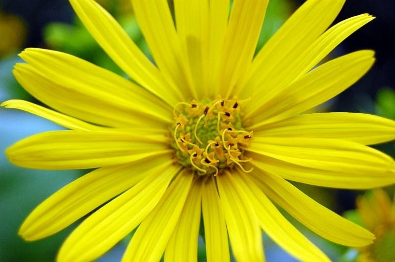 Fiori Gialli Con Quattro Petali.Fiore Giallo Con Petali Lunghi Free Image Su 4 Free Fotografie