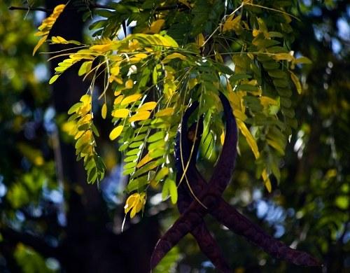 Albero di acacia con fiori blu free image su 4 free for Acacia albero
