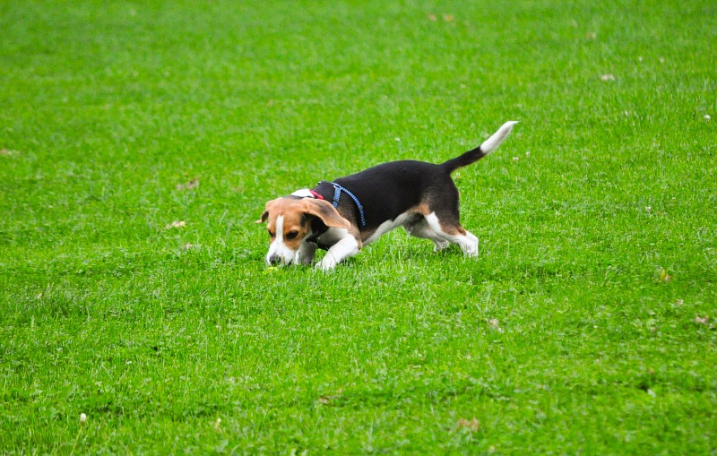 Beagle playing in grass