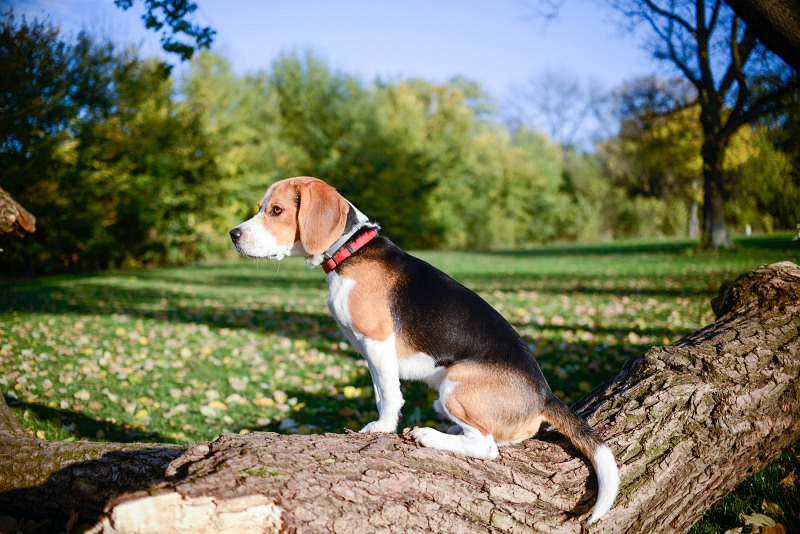 Beagle sitting tree trunk