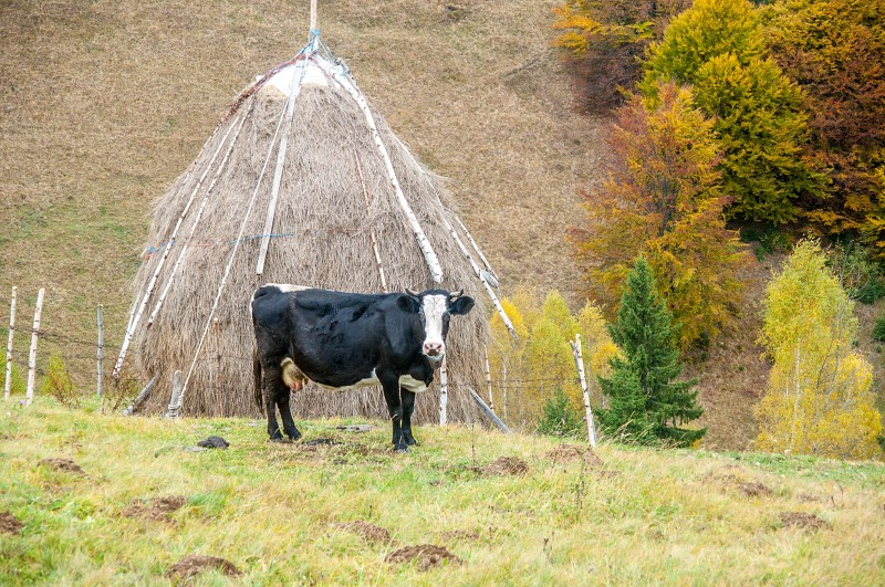 Cow and haystack