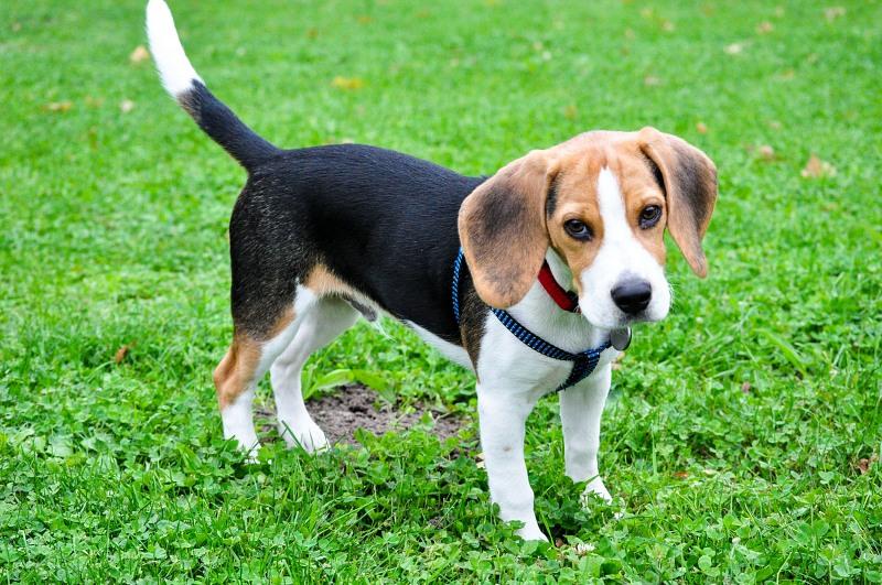 Cute beagle dog free image on 4 free photos cute beagle dog voltagebd Gallery