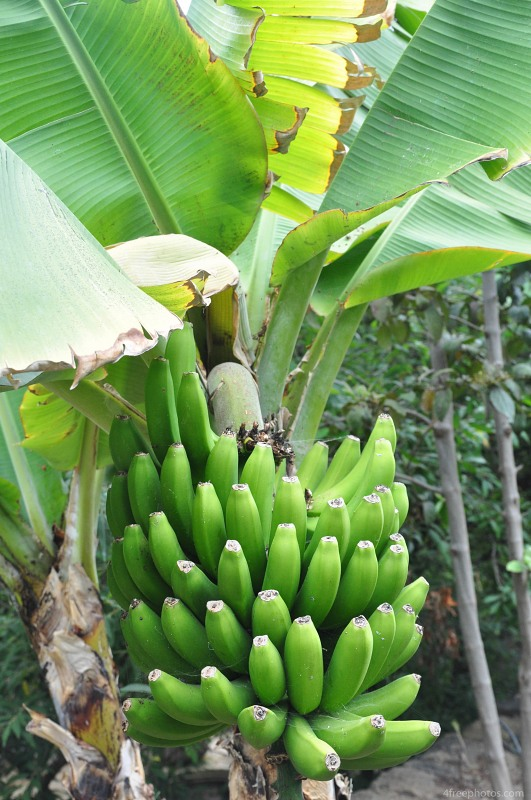 Green bananas in tree