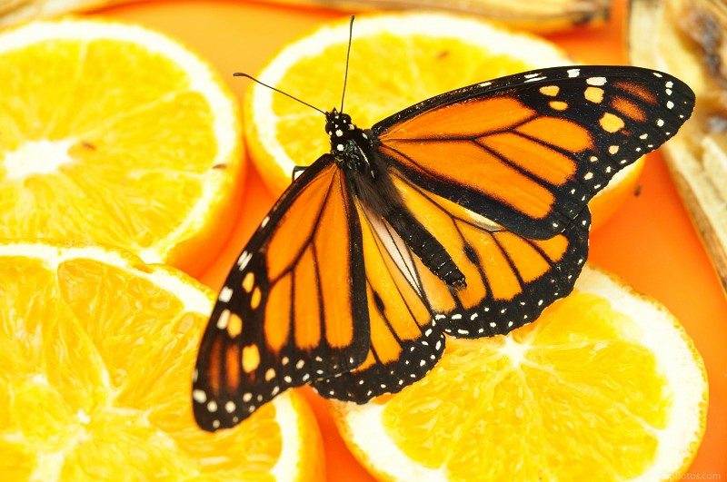 Monarch buttefly on oranges