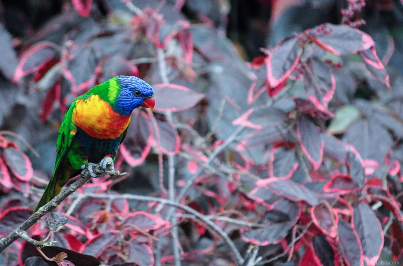 Parrot in foliage
