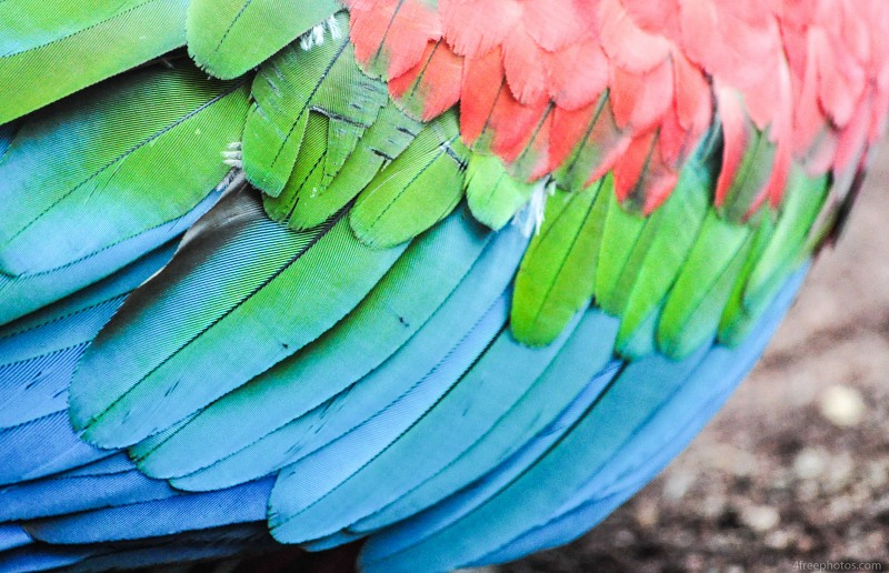 Parrot wing feathers