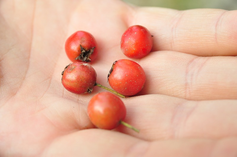 Red berries in hand