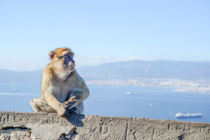 Wild monkey on a wall Gibraltar rock
