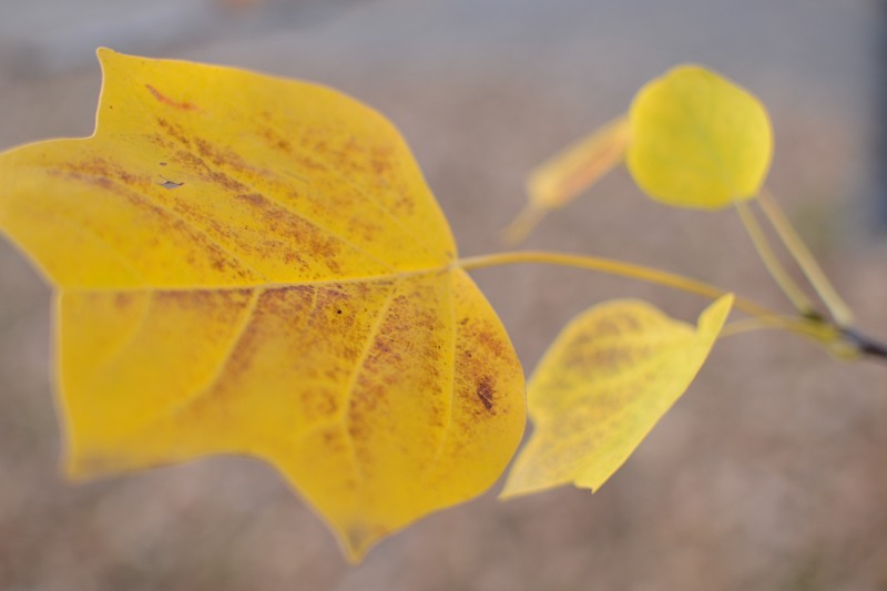 Yellow autumn plant leaf