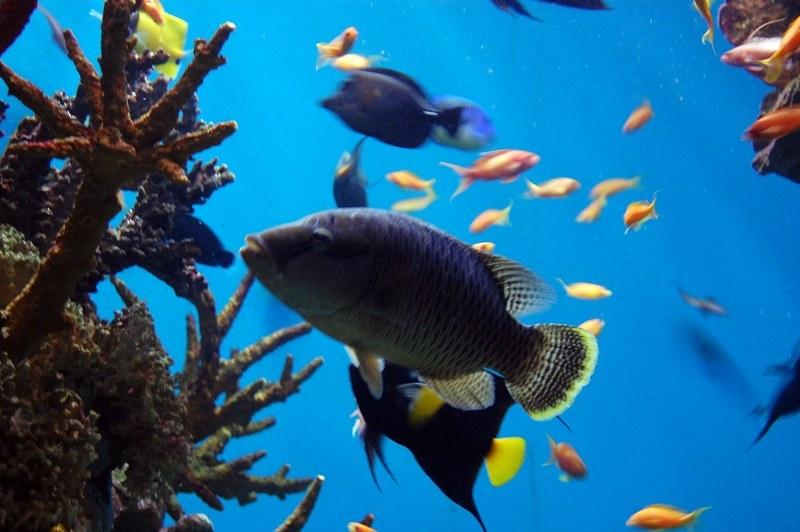 Blue Tang Fish Swimming In An Aquarium 4 Free Photos