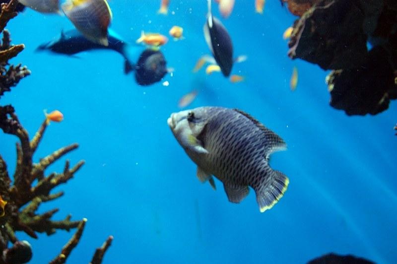 Blue tang fish alegri free photos for Blue tang fish facts