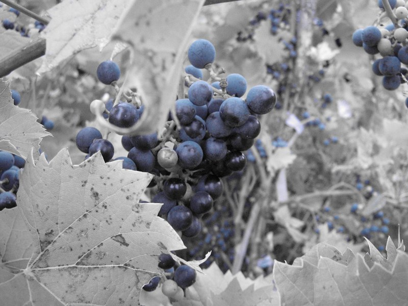 Grape isolated by color