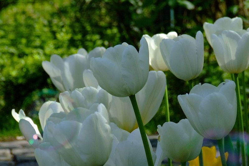Group of white blossomed tulips