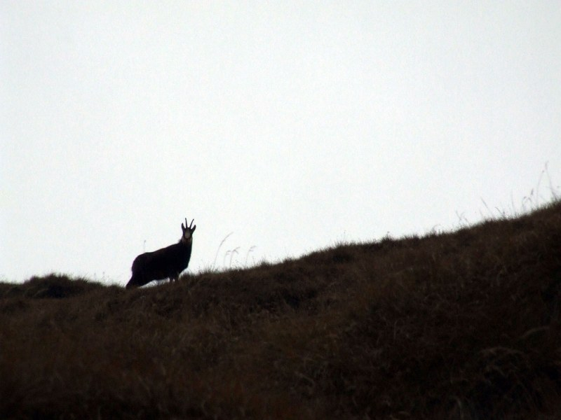 Monochrome image of a mountain goat on a hill