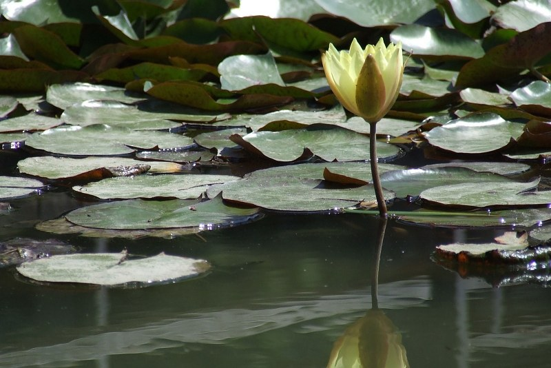 Single water lily flower on lake