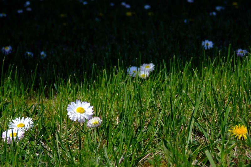 Small white flowers in green grass