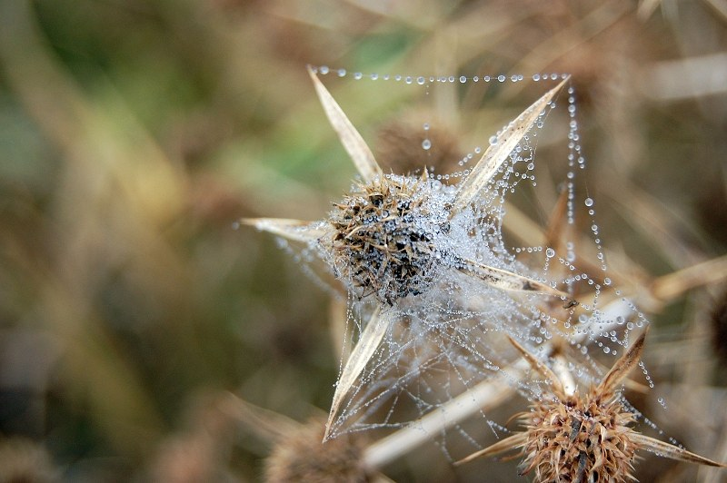 Spider web with dew drops around a  thistle