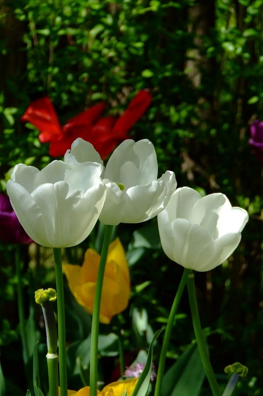 Three white tulips portrait shot