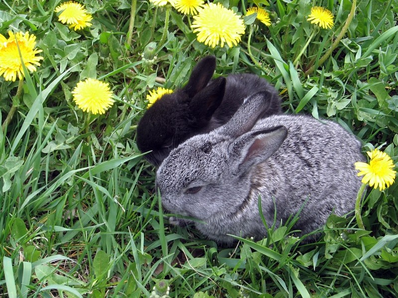 Two rabbits in grass