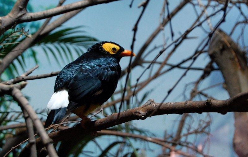 Yellow and black tropical bird