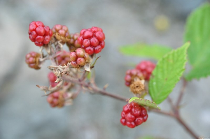 Blackberry plant with fruits