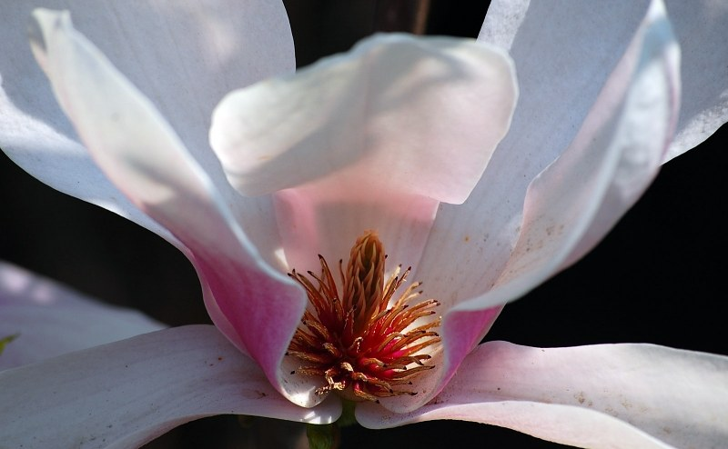 Bloomed magnolia flower