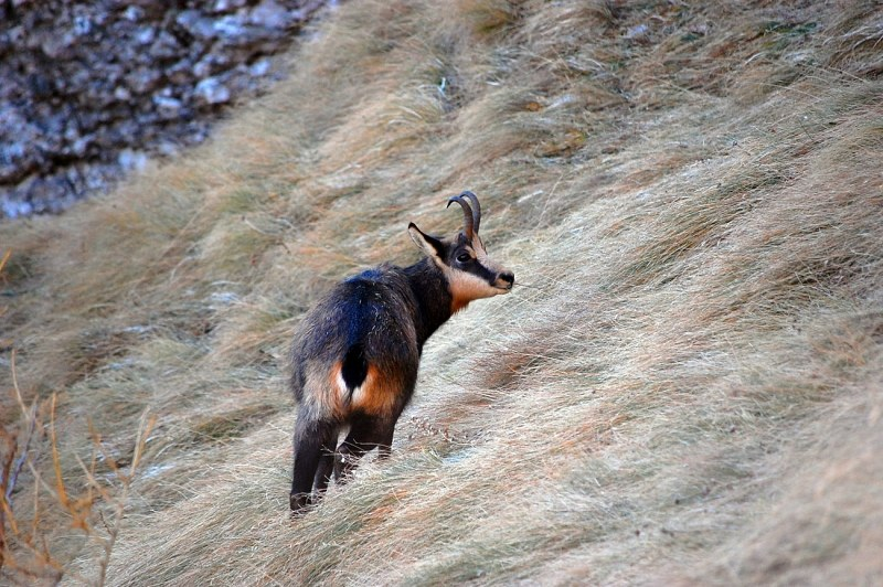 Chamois on a slope