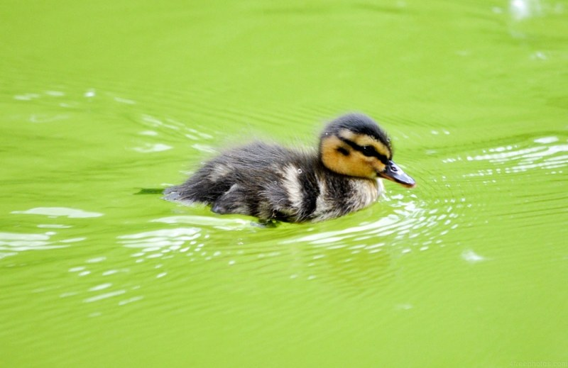 Cute Duck Free Image On 4 Free Photos