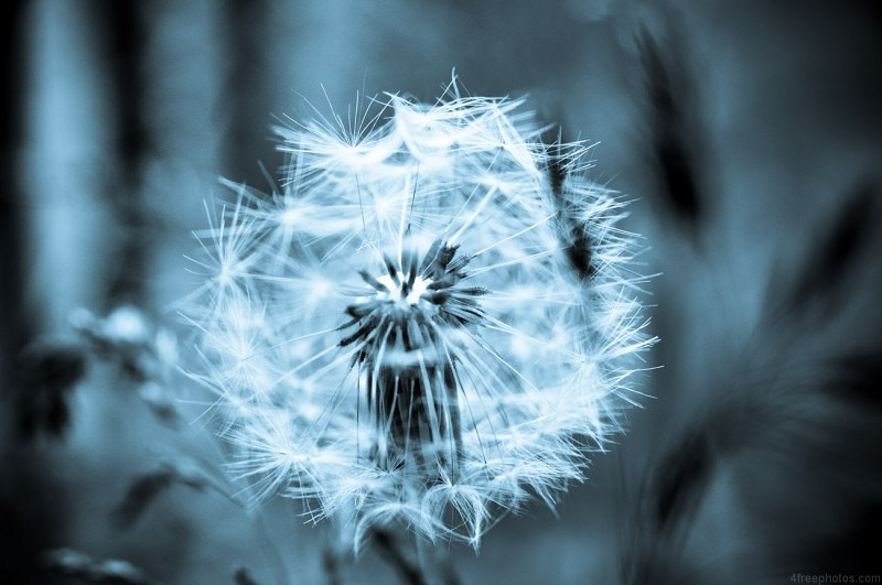 Dandelion seeds in black and white