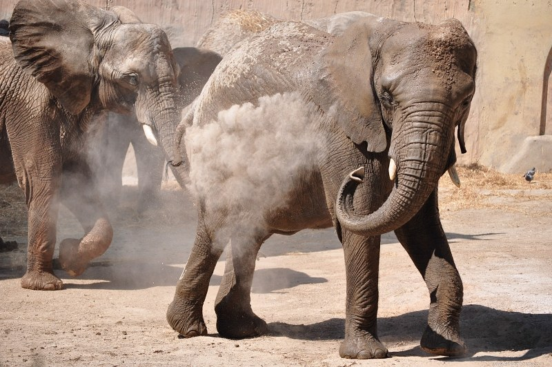 Elephant showering with dust
