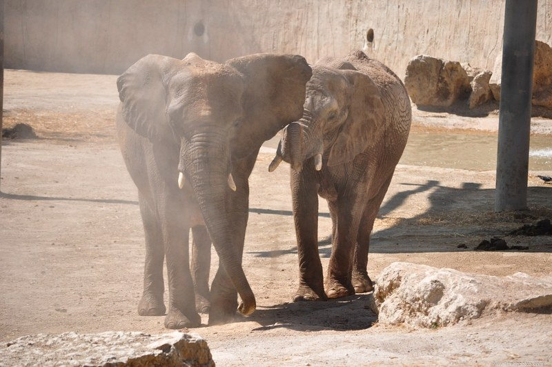 Elephants in dust at zoo