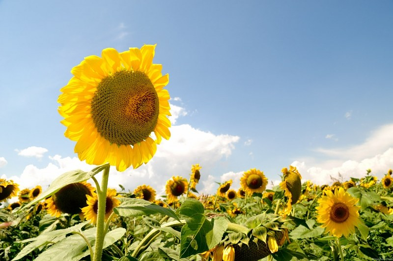 Isolated sunflower in field