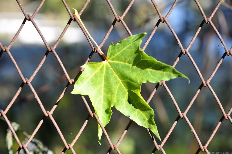 Leaf caught in fence