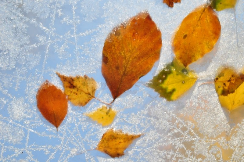 Leafs in frost