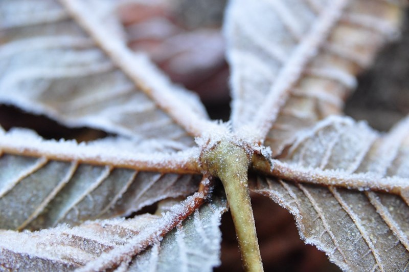 Morning  frost on maple leaf