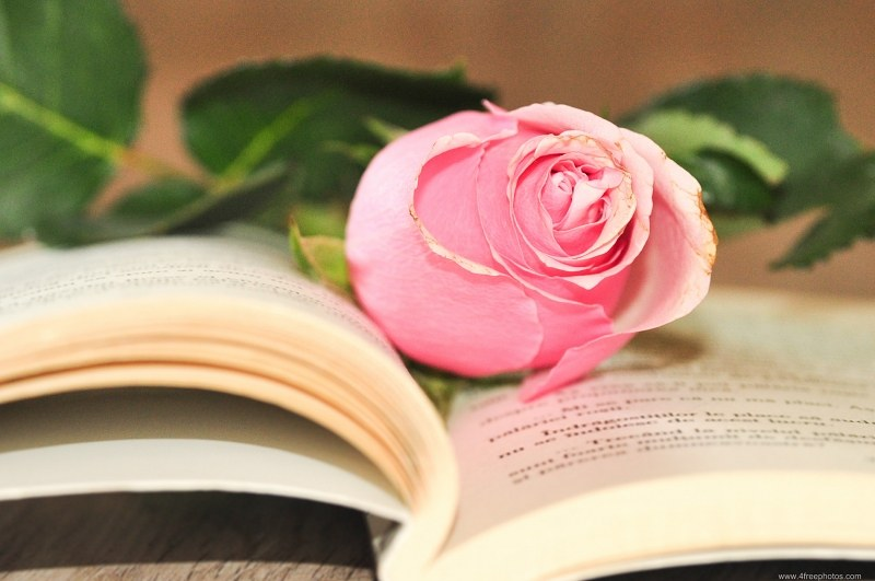 Opened book rose