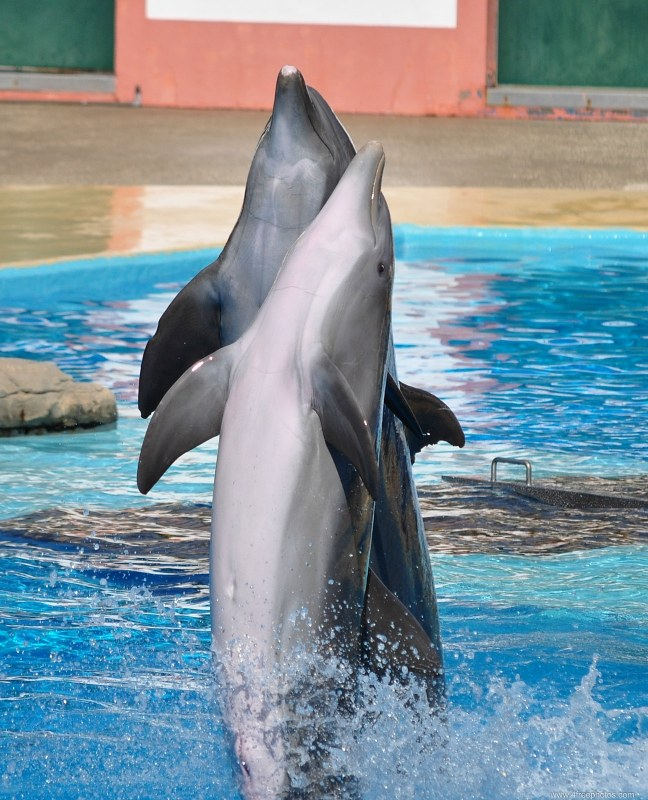 Pair of dolphins at show