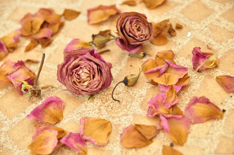 Pink dry roses