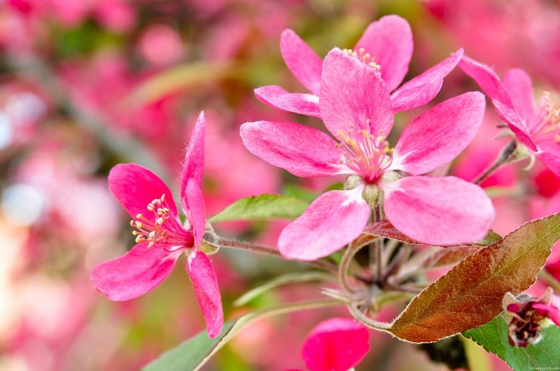 Pink flowers branch