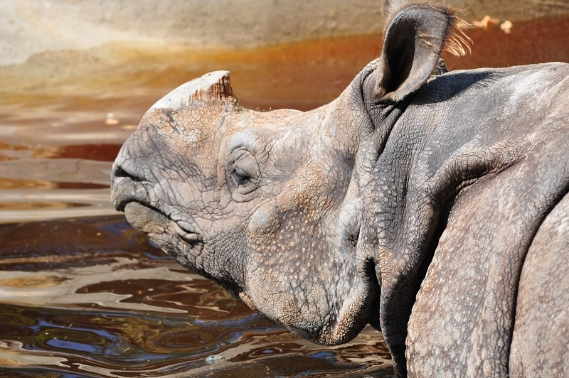 Rhinoceros in water
