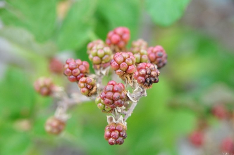 Ripe blackberry fruits