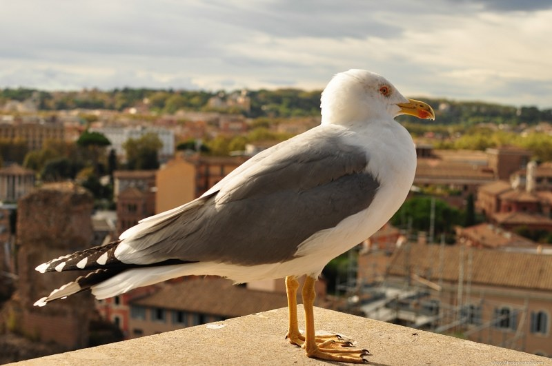Seagull on city rooftops