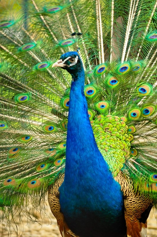 Tall peacock bird