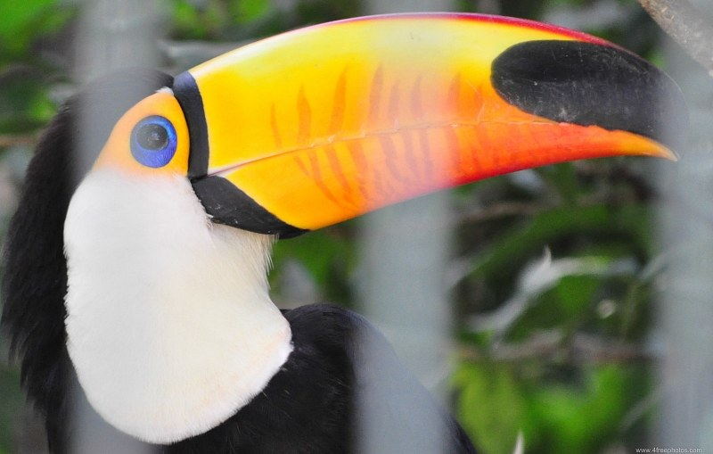 Toucan at zoo