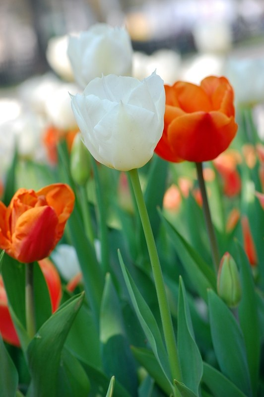 White et tulipes rouges