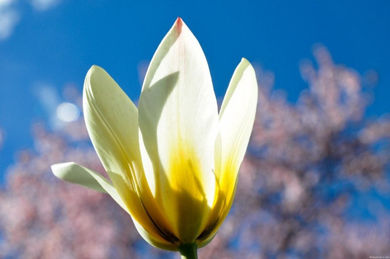 White tulip and sky